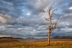 Naakte boom die zich op de kust van Hume Lake bevinden Royalty-vrije Stock Foto's