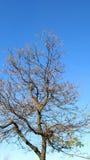Naakte boom en blauwe hemel stock afbeelding