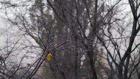 Naakte boom met laatste blad onder de herfstsneeuwval stock videobeelden