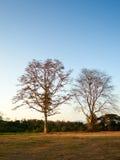 Naakte boom op een duidelijke avond Stock Afbeeldingen