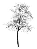 Naakte boom zonder bladeren Vergankelijke boom Royalty-vrije Stock Fotografie