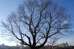 Naakte de winterboom Royalty-vrije Stock Afbeeldingen