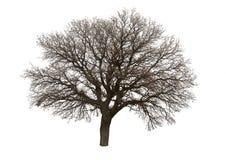 Naakte die boom over wit wordt geïsoleerd Stock Foto's