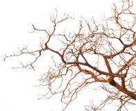 Naakte die takken van een boom op witte achtergrond wordt geïsoleerd Royalty-vrije Stock Foto's