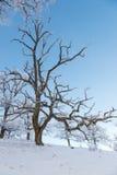Naakte eiken boom Stock Afbeeldingen