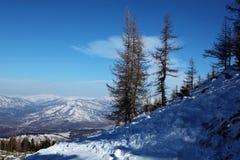Naakte lariksen in de bergen van altai bij de winter Royalty-vrije Stock Foto's