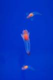 Naakte Overzeese Vlinder of Overzeese Engel (Gemeenschappelijke Clione) Stock Foto's