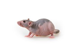 Naakte rat stock afbeelding