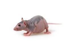 Naakte rat royalty-vrije stock foto's