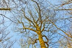 Naakte treetops stock afbeeldingen