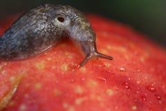 Naaktslak die op Overrijp Gekneust Apple kruipen Stock Afbeeldingen