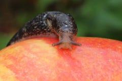 Naaktslak die op Rood Apple kruipen Stock Foto