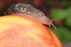 Naaktslak die op Rood Apple kruipen Royalty-vrije Stock Afbeelding