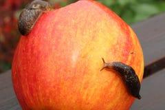 Naaktslak die over Rood Apple kruipen Stock Afbeelding