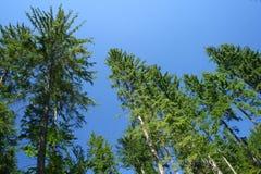 Naald bomen Stock Foto