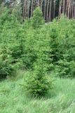Naald bomen royalty-vrije stock afbeelding
