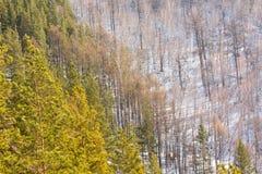 Naald en vergankelijk bos in de vroege lente Stock Afbeelding