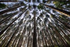 Naaldbomen Stock Afbeeldingen