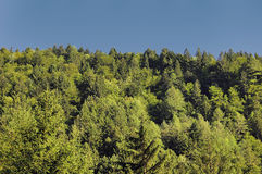 Naaldbomen Stock Afbeelding