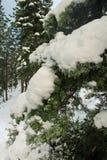 Naaldbomen in de sneeuw bij Meer Tahoe op een stijging om het meer te zien royalty-vrije stock afbeelding