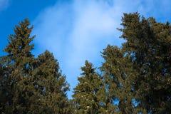 Naaldbomen tegen Blauwe Hemel Stock Afbeeldingen
