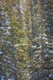 Naaldbomenclose-up die door de zonnestralen wordt verlicht Royalty-vrije Stock Fotografie