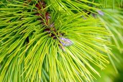 Naaldboom Royalty-vrije Stock Afbeeldingen