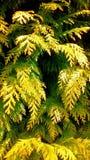 Naaldboom dichte omhooggaand Royalty-vrije Stock Fotografie