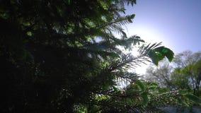 Naaldboom door de stralen van de zon stock videobeelden