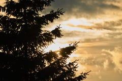 Naaldboomboom bij zonsondergang in aard Royalty-vrije Stock Afbeeldingen