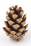 Naaldboomkegel Stock Foto