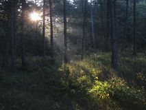 Naaldbos,针叶树森林 库存照片