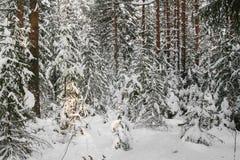 Naaldbos, dat met sneeuw wordt behandeld Royalty-vrije Stock Foto