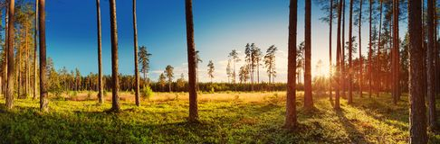 Naaldbos met ochtendzon het glanzen stock foto