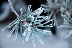 Naalden van pijnboomboom met ijskristallen Stock Afbeelding