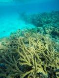 Naaldvissen die in Ondiep Rood Overzees Ertsader Transparant Water zwemmen royalty-vrije stock foto's