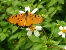 Naamloze oranje vlinder stock foto