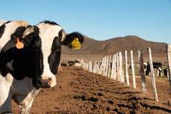 Nabiał krowy w serowego robić rancho przy Ojos Negros, Meksyk zdjęcie stock