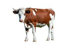 Nabiał biała i brąz krowa zdjęcia royalty free