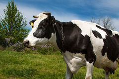 Nabiał krowa na lato paśniku Fotografia Stock