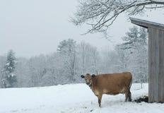 Nabiał krowa w śniegu Obraz Royalty Free
