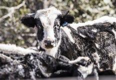 Nabiał krowa w lichocie i błocie rural ameryki Zdjęcia Stock