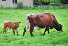 Nabiał krowa z łydką Fotografia Royalty Free