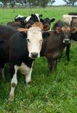 Nabiał krowy Zdjęcia Stock