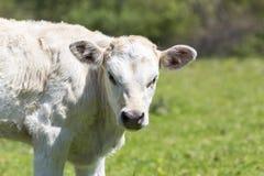Nabiał krowy ciekawi stojaki w ona paśnik, nabiał Cow/A ciekawy da/ Obraz Royalty Free