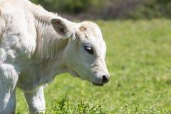 Nabiał krowy ciekawi stojaki w ona paśnik, nabiał Cow/A ciekawy da/ Zdjęcie Royalty Free