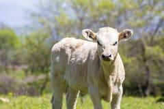 Nabiał krowy ciekawi stojaki w ona paśnik, nabiał Cow/A ciekawy da/ Obrazy Stock