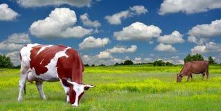 Nabiał krowy na zielenieją pole Obrazy Stock