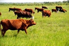 Nabiał krowy w paśniku. Wibrujący kolory. Zdjęcie Royalty Free