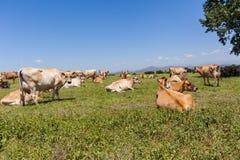 Nabiał krów pole Zdjęcia Royalty Free
